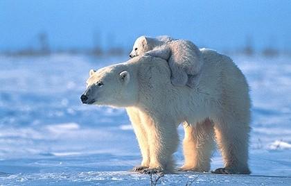baby_polarbear.jpg
